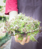 Mano en el grupo de verdura de ensalada Foto de archivo libre de regalías