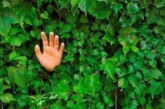 Mano en pared Ivy-covered Foto de archivo