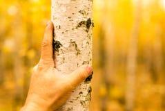 Mano en un árbol de abedul en otoño Imagen de archivo