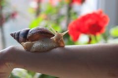 Mano femenina con el caracol de Achatina del gigante Salud y rejuvenecimiento de la piel Foto de archivo libre de regalías