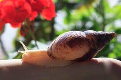 Mano femenina con el caracol de Achatina del gigante Salud y rejuvenecimiento de la piel Foto de archivo