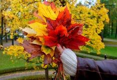 Mano femenina con el ramo colorido de hojas de arce Foto de archivo libre de regalías