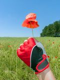 Mano femenina con la flor roja de la amapola Fotografía de archivo libre de regalías
