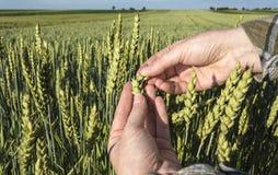 Mano femenina en el campo de trigo, concepto agrícola fotografía de archivo
