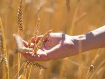 Mano femenina que sostiene las espiguillas del trigo en el campo el día soleado, nueva cosecha imágenes de archivo libres de regalías