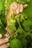 Mano femenina que sostiene los tomates inmaduros Foto de archivo