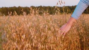 Mano femenina que toca los oídos del trigo en el campo del otoño, primer almacen de video