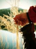 Mano femminile che tiene i gambi ed i semi dorati di erba selvatica immagini stock