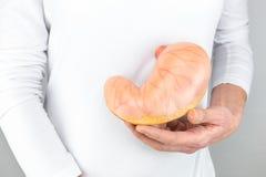 Mano femminile che tiene modello artificiale dello stomaco umano Fotografie Stock