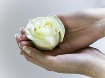 Mano femminile che tiene una rosa di fioritura di bianco Fotografia Stock Libera da Diritti