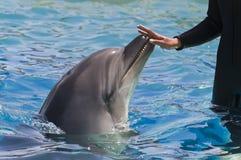 Mano femminile che tocca un delfino Immagine Stock