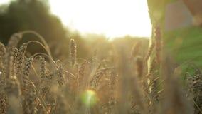 Mano femminile che tocca un orecchio dorato del grano nel giacimento di grano, archivi video
