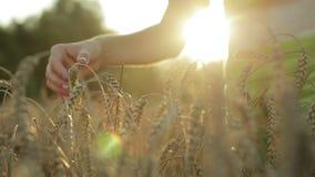 Mano femminile che tocca un orecchio dorato del grano nel giacimento di grano video d archivio