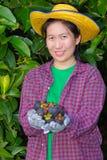 Mano femminile dell'agricoltore che mostra i mangostani Fotografia Stock