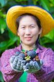 Mano femminile dell'agricoltore che mostra i mangostani Fotografie Stock Libere da Diritti