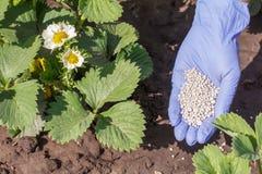 Mano femminile dell'agricoltore in guanto di gomma che dà fertilizzante chimico a Fotografie Stock Libere da Diritti