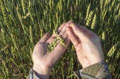 Mano femminile nel campo dell'orzo, piante d'esame dell'agricoltore, concetto agricolo Fotografia Stock Libera da Diritti