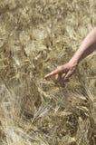 Mano femminile nel campo dell'orzo, piante d'esame dell'agricoltore, concetto agricolo Fotografia Stock