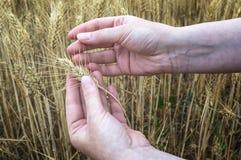 Mano femminile nel giacimento della segale, piante d'esame dell'agricoltore, concetto agricolo Immagini Stock
