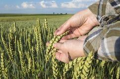 Mano femminile nel giacimento di grano, concetto agricolo Immagine Stock Libera da Diritti