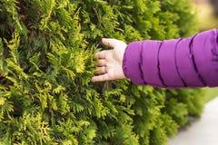 Mano femminile, rami dell'albero, larice fotografia stock libera da diritti