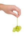Mano humana que sostiene una uva fresca Foto de archivo libre de regalías