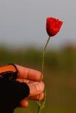 Mano inguantata che giudica un fiore del papavero unblown Fotografia Stock