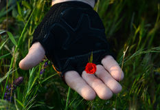 Mano inguantata che tiene un fiore 2 unblown del papavero Fotografie Stock