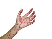 Mano izquierda y brazo con sangre en el fondo blanco Fotos de archivo libres de regalías