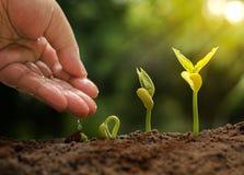 Mano maschio che dà acqua al seme di germinazione al germoglio del dado fotografia stock