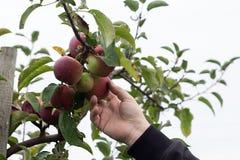 Mano maschio che seleziona la mela di Macintosh dall'albero Fotografia Stock