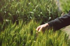 Mano maschio nel giacimento di grano, orecchie d'esame del grano dell'agricoltore Immagini Stock Libere da Diritti