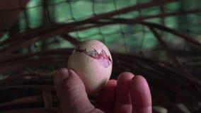 Mano masculina caucásica que detiene a Chick Hatching Out del huevo blanco Granjero Breeding Chickens almacen de metraje de vídeo