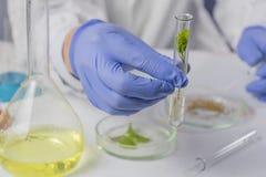 Mano masculina con un tubo de ensayo con las hojas, en el fondo de una placa de Petri con las semillas en la tabla en el laborato fotografía de archivo