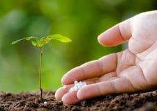 Mano masculina que da el fertilizante de planta al árbol joven Imagen de archivo