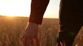 Mano masculina que toca un oído de oro del trigo en el campo de trigo, luz de la puesta del sol, luz de la llamarada Persona irre almacen de video