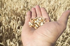Mano matura dell'agricoltore che giudica una manciata di grani del grano selezionata appena Fotografie Stock Libere da Diritti