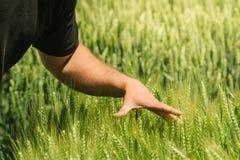 Mano nel giacimento di grano, controllo della crescita dei raccolti Immagine Stock