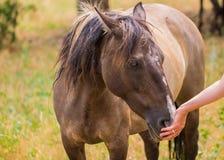 Mano nuzzling de los dueños de Brown y del caballo blanco Foto de archivo libre de regalías