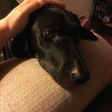 Mano que acaricia un Labrador negro Imagen de archivo libre de regalías