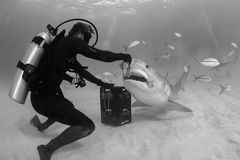 Mano que alimenta a Tiger Shark con cebo en Bahamas fotos de archivo libres de regalías