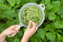Mano que escoge las habas verdes frescas de Bush del jardín imágenes de archivo libres de regalías