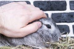 Mano que frota ligeramente el conejo Fotografía de archivo libre de regalías