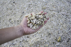 Mano que lleva a cabo el fragmento coralino muerto foto de archivo