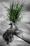 Mano que lleva a cabo la ecología del arbusto de la flor de la hierba verde Foto de archivo libre de regalías
