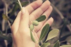 Mano que lleva a cabo la rama de olivo Foto de archivo libre de regalías