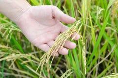 Mano que muestra el arroz imagen de archivo libre de regalías