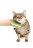 Mano que peina el peine adulto del gato Foto de archivo libre de regalías