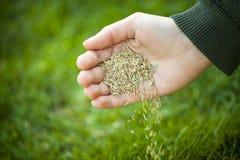 Mano que planta las semillas de la hierba Fotografía de archivo libre de regalías