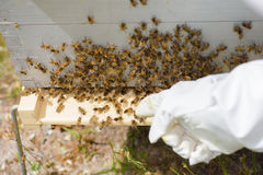 Mano que señala a las abejas en colmena Imágenes de archivo libres de regalías
